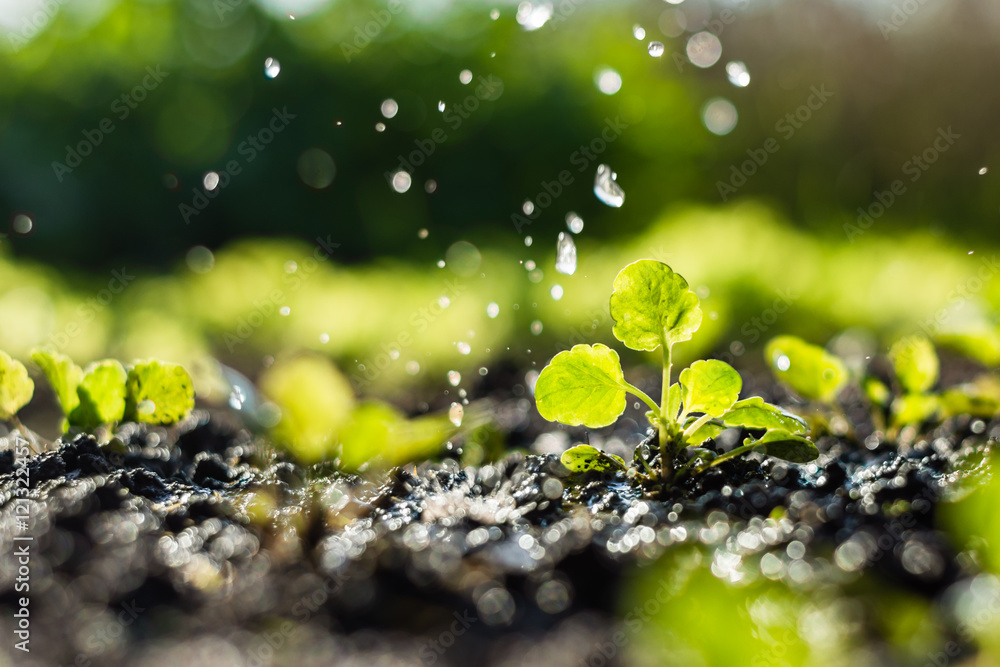 Fototapety, obrazy:  Plant sprouts in the field and farmer  is watering it;  pansy seedlings in the farmer's garden , agriculture, plant and life concept (soft focus, narrow depth of field)