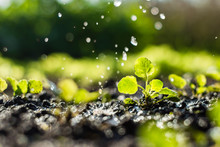 Plant Sprouts In The Field And Farmer  Is Watering It;  Pansy Seedlings In The Farmer's Garden , Agriculture, Plant And Life Concept (soft Focus, Narrow Depth Of Field)