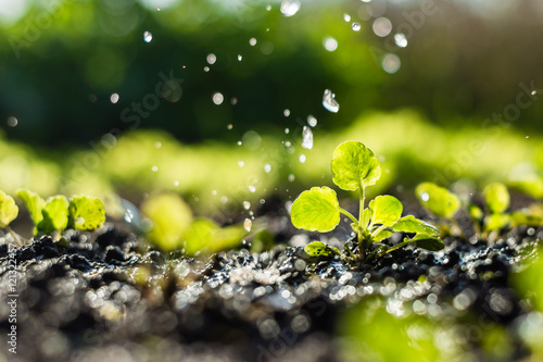 Poster Jardin Plant sprouts in the field and farmer is watering it; pansy seedlings in the farmer's garden , agriculture, plant and life concept (soft focus, narrow depth of field)