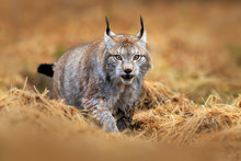 Wildlife Scene With Cat From Europe. Lynx Walking In The Forest Path. Wild Cat Lynx In The Nature Forest Habitat. Eurasian Lynx In The Forest, Hidden In The Grass. Cute Lynx In The Autumn Forest.