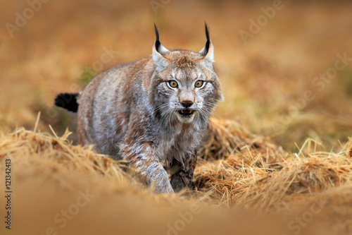 Foto auf Leinwand Luchs Wildlife scene with cat from Europe. Lynx walking in the forest path. Wild cat Lynx in the nature forest habitat. Eurasian Lynx in the forest, hidden in the grass. Cute lynx in the autumn forest.