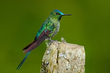 Long-tailed Sylph, hummingbird with long blue tail in the nature habitat, Ecuador. Exotic bird with long tail. Green and blue bird from Ecuador. Long-tailed Sylph sitting on the tree trunk.