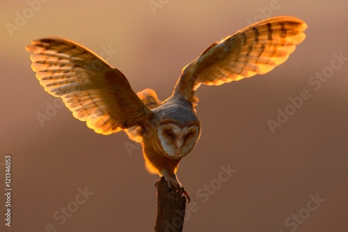 Foto op Plexiglas Draken Evening light with bird with open wings. Action scene with owl. Owl sunset. Barn owl landing with spread wings on tree stump at the evening. Bird with orange evening light. Owl with orange sunset.