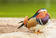 A Mandarin Duck Resting On The Ground