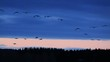 Crane, birds fly against beautiful background of red-streaked sunset clouds in blue twilight, Hornborga, Sweden