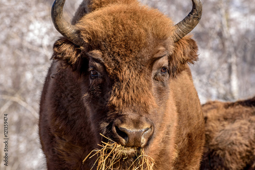 Valokuva  bison wild mammal portrait hay