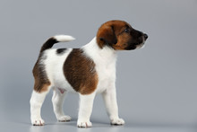 Smooth Fox Terrier. The Puppy On A Gray Background, Photographed