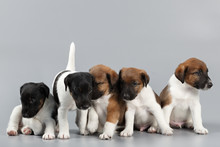 Family Of Purebred Puppies Smooth Coat Fox Terrier, Photographed