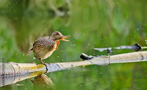 Fotografie, Obraz  Female mallard duck  Sitting on Log in a Lake