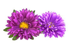 Close-up Of Two Violet Aster Isolated On A White Background