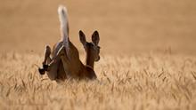 Whitetail Doe Bounding Through A Ripening Wheat Field