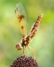 Common Whitetail V