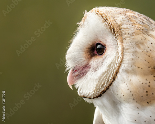 Barn Owl II Fototapete