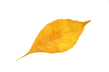 Single Autumn Yellow Leaf Isol...