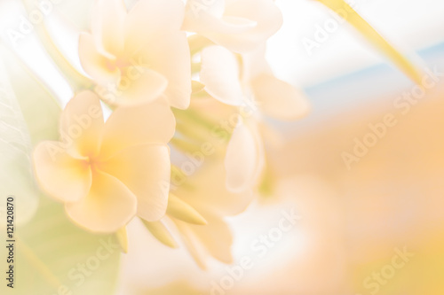 Recess Fitting Buddha Soft and blur of Beautiful plumeria flowers in the garden for background