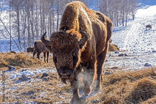 Photo  bison mammal hay winter