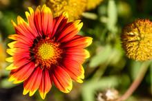 Rote Kokardenblume Von Oben - Gaillardia Pulchella