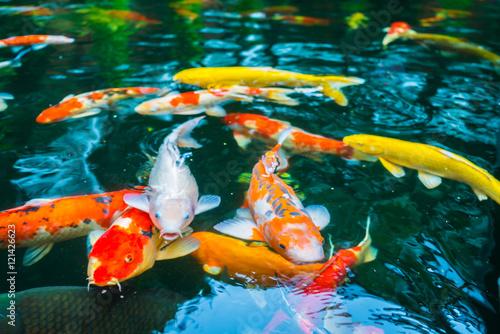 Valokuva Colorful Koi fish swimming in water .