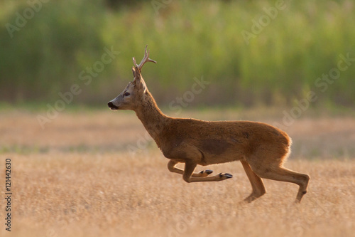 Spoed Foto op Canvas Ree Roe deer buck is running