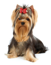 Dog With Bow