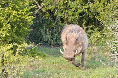 Photo  Warthog in savannah, wildlife in Africa