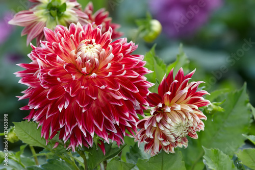 In de dag Dahlia Dahlia flowers