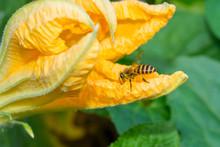 Macro Of A Honeybee Collecting Nectar On Golden Pumpkin Flower.