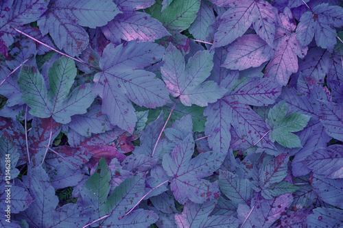 Photo  Beautiful purple colored autumn season maple leaves background.