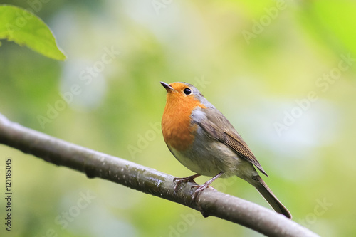 Photo  bird Robin red breast sitting on a tree in autumn Park