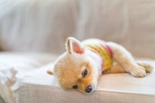 Tired And Sleepy Pomeranian Do...