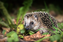 Little Young Hedgehog (Erinaceus Europaeus) In Autumn Forest Looking For Food