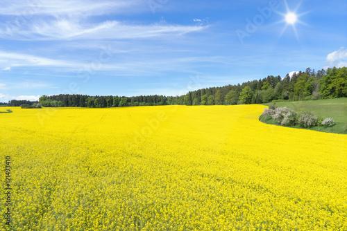 Poster Jaune Großes, blühendes Rapsfeld vor einem Wald im Frühling