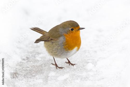 Stampa su Tela Petirrojo, Erithacus rubecula, en la nieve