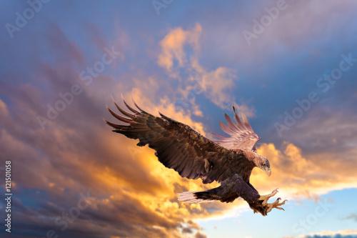 Poster de jardin Aigle White Tailed Sea Eagle