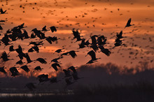 Sandhill Cranes Taking Flight ...
