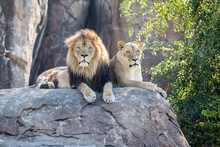Lions On A Rock Looking Forward