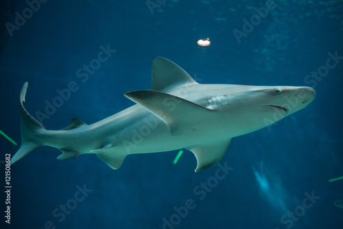 Plakat Rekin sandbar (Carcharhinus plumbeus).