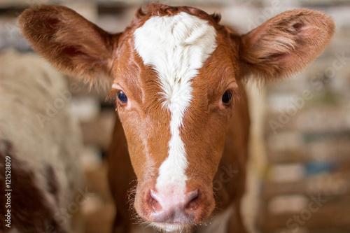 Valokuva Red baby cow calf head at farm