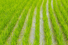 Beautiful Green Rice In Water Wet Field Line Pattern Agriculture In Thailand.