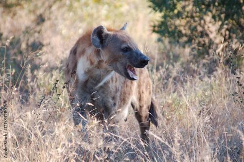 Fotografie, Obraz  Spotted Hyena