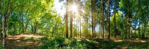 Wald Panorama mit alten Bäumen und Sonnenstrahlen, die auf eine Lichtung fallen