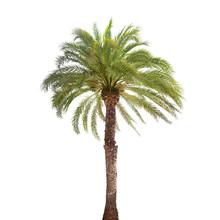Single Date Palm Tree Isolated...