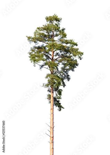 European pine tree isolated on white