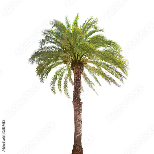Single date palm tree isolated on white