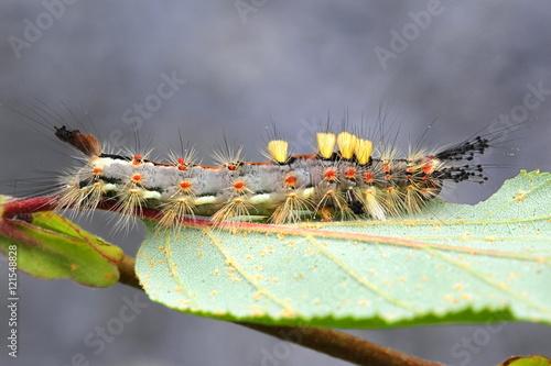 Vászonkép Rusty Tussock Moth, Orgyia antiqua