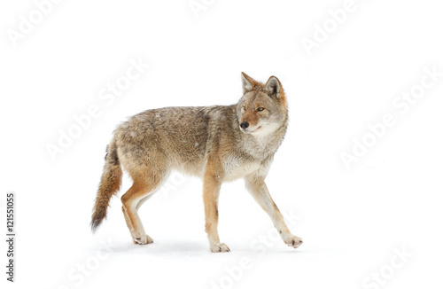 Fotografia A lone coyote Canis latrans isolated on white background walking and hunting in