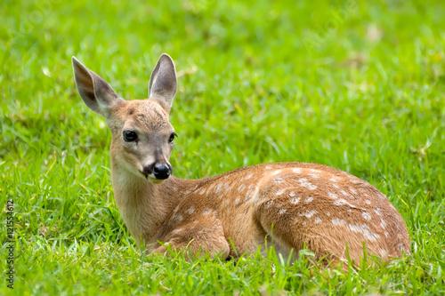 Fotomural  Bambi