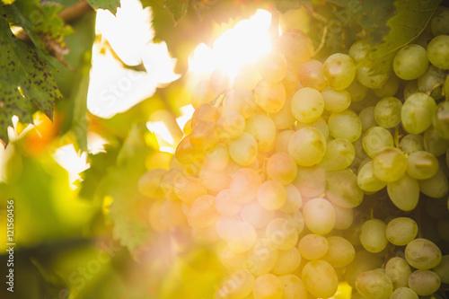 Fotobehang Wijngaard bunch of grapes, garden