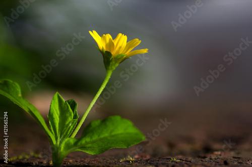 Fototapeta yellow flowers background obraz na płótnie