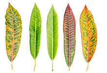 Croton Leaf On White Background
